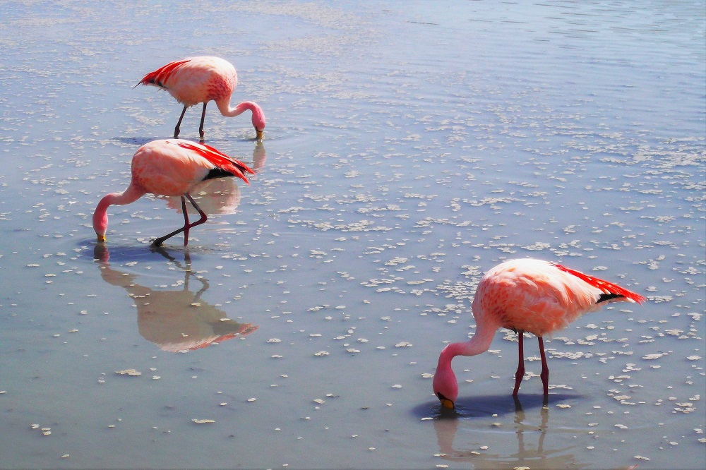 Pigmentation in the algae found in these parts contains beta-carotene, which gives these flamingos their pink colouring.